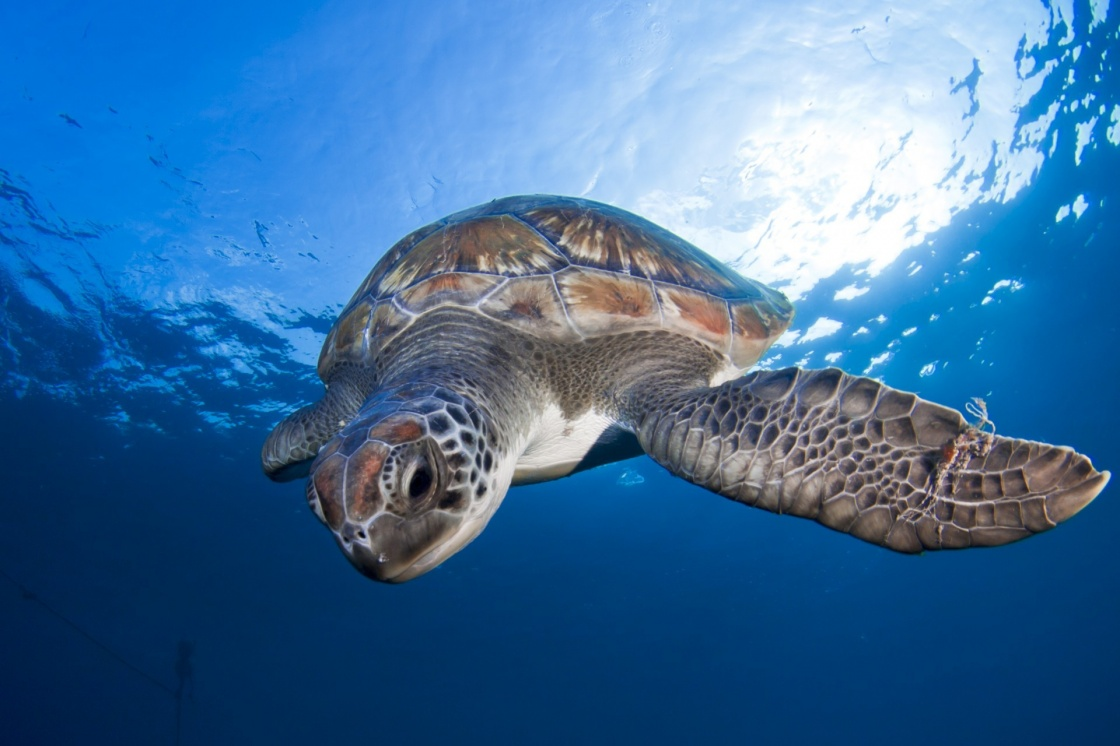 A sea turtle swims at the clear waters of Tenerife (Canary Islands)